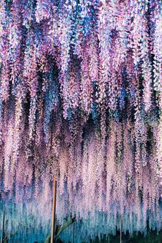 folklifestyle: banshy: Wisteria // Sugura Baba Use code... I need this in my yard...