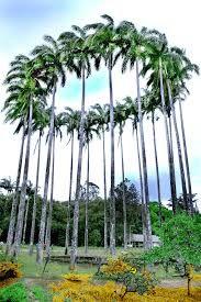 palmeira imperial - Pesquisa Google
