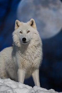 Beautiful white wolf.