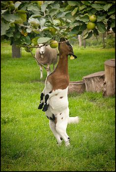 Gemert, Noord-Brabant. Holland, Goats, Beautiful Places, Travel, Animals, The Nederlands, Viajes, Animales, Animaux