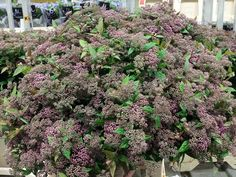 #Spirea Pink; Available at www.barendsen.nl
