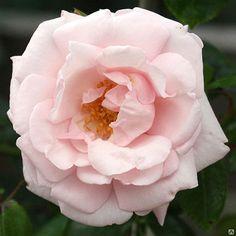 Роза плетистая Нью Даун \ Rosa climbing New Dawn C2 ( Kordes )