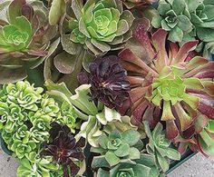 aeonium.  best. succulent.  ever.