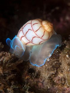 Red-lined bubble Snail