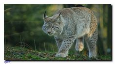 Luchse sind im Harz noch relativ selten. Der Bestand wird zur Zeit auf ca. 35 Tiere geschätzt. Eine Zählung soll Ende 2015 veröffentlicht werden. Panther, Germany, Animals, Lynx, Resin, Animales, Animaux, Panthers, Deutsch