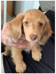 Dapple Dachshund Long Haired, Long Haired Miniature Dachshund, Dapple Dachshund Puppy, Dachshund Funny, Dachshund Puppies For Sale, Dachshund Quotes, Cute Dogs And Puppies, Baby Puppies, Baby Dogs