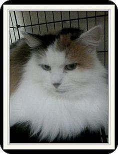 Trevose, PA - Domestic Longhair. Meet Fancy, a cat for adoption. http://www.adoptapet.com/pet/17684120-trevose-pennsylvania-cat