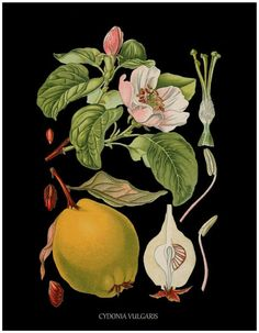 DIGITAL DOWNLOAD ANTIQUE FRENCH BOTANICAL PRINT cydonia fruit quince tree high resolution 300 dpi jpg file delivered via email instant download after payment for your personnel and commercial uses 11 INCHES BY 14 INCHES 300 DPI JPEG FILE watermark will be removed FOR MORE BOTANICAL
