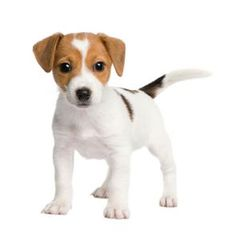 Jack Russell Terrier puppies are the cutest dogs ever!