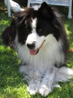 Check out Barney's profile on AllPaws.com and help him get adopted! Barney is an adorable Dog that needs a new home. https://www.allpaws.com/adopt-a-dog/border-collie/4060558?social_ref=pinterest