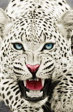 Stunning leopard in a roaring pose...