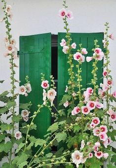 Pink hollyhocks against green shutters.