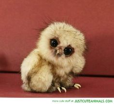 owl chick baby bird cute animals wild wildlife species planet earth nature pics pictures photos images