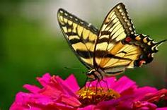 butterfly - Yahoo Image Search Results