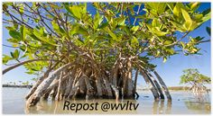 size: Photographic Print: Mangrove Near Calosa Key in Everglades National Park, Florida by Michael Melford : Entertainment Everglades National Park Florida, Stock Pictures, Stock Photos, Florida Pictures, Mangrove Forest, Art For Sale Online, Photographic Prints, Fine Art America, National Parks