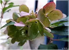 Hortensie... by CharMa Plants, Pictures, Limelight Hydrangea, Flowers, House, Flora, Plant, Planting