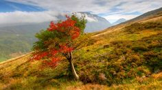 """Rowan tree in Snowdonia - A colourful rowan tree near the old copper mine in Cwm Ceunant, in the Ogwen Valley in Snowdonia. Photo taken by Pete Whitehead, of Rachub, Gwynedd, on a walk up Carnedd y Filiast. He said: """"It can't seem to make up it's mind about autumn."""""""