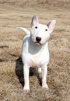 Kenron the Miniature Bull Terrier))) #Bull #Terrier #Dog #Dogs #Cute #Funny #Pet #Pets #Sweet #Portrait #Mini