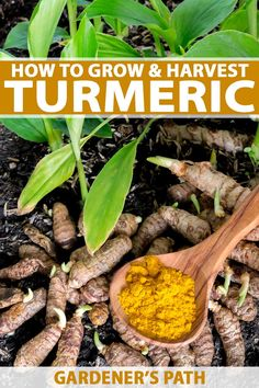 Grow turmeric, a spice that dates to ancient India. Prized for its tangy flavor,. - List of the most beautiful garden Grow Turmeric, Turmeric Plant, Fresh Turmeric Root, Turmeric Health Benefits, Container Gardening, Gardening Tips, Organic Gardening, Vegetable Gardening, Flower Gardening