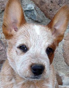 sweet Australian Cattle Dog puppy