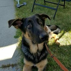 Norman, the gsd, hanging out at our booth at the Kenosha Harbor Market! German Shepherds, Shepherd Dog, Hanging Out, Norman, Dog Breeds, Cute Animals, Cats, Dogs, Pretty Animals