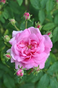 Rose 'Ispahan' - Damask rose. Very long blooming (although a once bloomer) and good upright form.