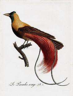 Jean Baptiste Audebert and Louis Jean Pierre Vieillot 'Oiseaux Dores' Bird Prints 1802