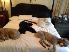 Poodle Dogs Bed time No room left for our two legged friends? I Love Dogs, Puppy Love, Cute Dogs, Silly Dogs, Happy Puppy, French Poodles, Standard Poodles, Poodle Cuts, Tea Cup Poodle