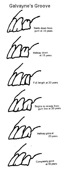 www.horse teeth age chart | Aging horses' teeth by Galvayne's groove.
