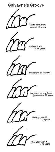 www.horse teeth age chart | Aging horses' teeth by Galvayne's groove.