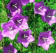 7 Timeless Plants that Say Cottage Garden: Cottage Garden Bellflowers (Campanula sp. and hybrids) Growing Flowers, Cut Flowers, Purple Flowers, Planting Flowers, Herbaceous Perennials, Flowers Perennials, Perennial Plant, Deer Resistant Perennials, Woodland Flowers
