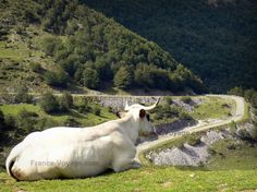 Landscapes of Ariège: Cow lying in a meadow and watching a mountain road; in the Ariège Pyrenees Regional Nature Park - France-Voyage.com