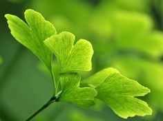 Gingko has been used to treat a wide variety of illnesses including:  circulatory disorders, memory loss and other symptoms associated with Alzheimer's disease, asthma, cardiovascular disease, glaucoma, vertigo, tinnitus (ringing in the ears), hearing loss, and sexual dysfunction.