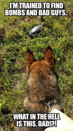 German shepherd dogs - Top 10 Funny Video Funny Cats & Dogs 2016 Replay 100 Times You Will Still Laugh 6 Funny Animal Jokes, Funny Dog Memes, Funny Animal Pictures, Cute Funny Animals, Cute Baby Animals, Funny Dogs, Cute Dogs, Animals Dog, Military Working Dogs