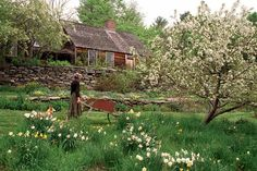 "Daffodils and rabapple trees bloom below the house that Tasha's son Seth built for his mother in Marlboro, Vermont, in the early 1970s; son Tom shingled the roof; stone terraces were crafted by Jim Herrick. ""The first thing I did was plant daffodils— over a thousand,"" Tasha wrote."