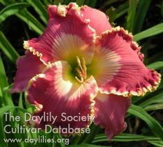 spacecoast sweet tart daylily - Google Search