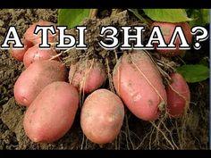 Секреты выращивания картофеля - YouTube