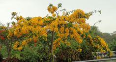 Flamboyán amarillo (Delonix regia 'Kampong Yellow') | Flickr - Photo Sharing!