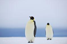 Emperor Penguins by daniarmbruster #animals #animal #pet #pets #animales #animallovers #photooftheday #amazing #picoftheday