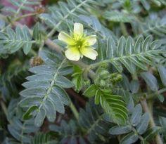 Kotvičník je bylinka, ktorá pôsobí ako jedno z najúčinnejších prírodných afrodiziak