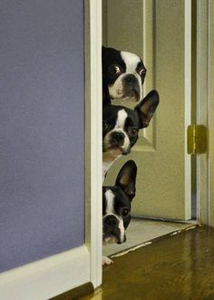 """Boston Terriers: The Top Dog Says:  """"I just cannot believe she has gone and got a cat!"""""""