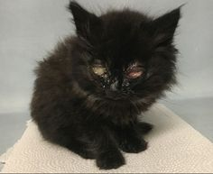 **Must be pulled by a New Hope Rescue**http://nyccats.urgentpodr.org/periwinkle-14855/: 4 weeks, Black DMH, Male, 1 lbs. 2 oz., Stray Super Urgent Shelter Cats  These animals are either high risk, injured or have previously appeared on the To Be Destroyed list and survived. They are in danger of being on the list again or destroyed without any further notice.