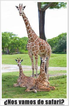 I so am into Giraffes!