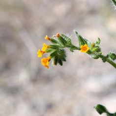 Where: South Mountain Park What: Amsinckia menziesii When: 3/4/15 Photo by: ladyoftheferns / via Instagram  #spring #sonorandesert #sonorandesertlife #dbgwildflowers #wildflower #Boraginaceae