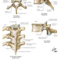 17++ What is thoracic vertebrae ideas in 2021