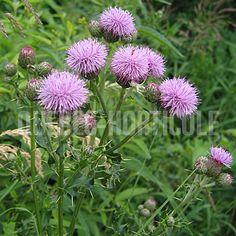 Cirsium arvense Nom commun: Chardon des champs, cirse des champs Catégorie: plantes indigènes et sauvages du Québec