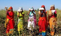 Por Dentro... em Rosa: Índia planta algodão orgânico e faz Monsanto perde...