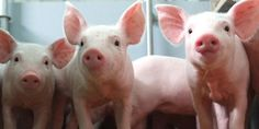 Mizoram set to import 50 piglets from England   The North East Today Delivering news upto the minute