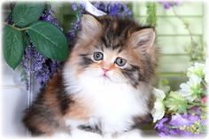 This Tiny Treasure Is A Calico Rug Hugger