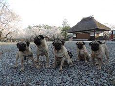 Sakura trip with 5 pugs